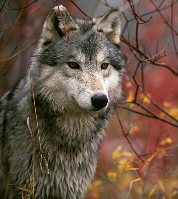 En defensa del lobo Image